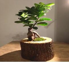 Doğal kütükte Bonsai japon ağacı satışı  Bayburt internetten çiçek satışı
