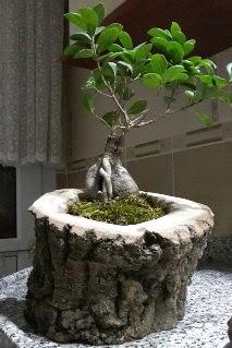 Ahşap kütük içerisinde ginseng bonsai  Bayburt internetten çiçek siparişi