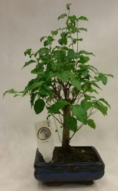 Minyatür bonsai japon ağacı satışı  Bayburt çiçekçi telefonları