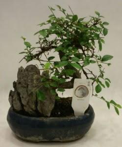 İthal 1.ci kalite bonsai japon ağacı  Bayburt çiçek satışı