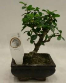 Küçük minyatür bonsai japon ağacı  Bayburt çiçek gönderme