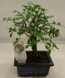 Minyatür ithal japon ağacı bonsai bitkisi  Bayburt çiçek satışı