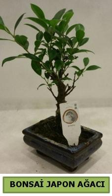 Bonsai japon ağacı saksı bitkisi  Bayburt çiçek servisi , çiçekçi adresleri