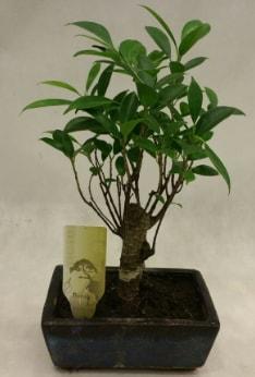 Japon ağacı bonsai bitkisi satışı  Bayburt çiçekçi telefonları
