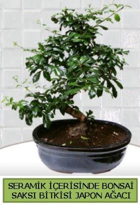 Seramik vazoda bonsai japon ağacı bitkisi  Bayburt çiçek siparişi sitesi