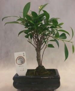 Bonsai japon ağacı bitkisi satışı  Bayburt çiçek gönderme sitemiz güvenlidir