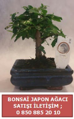 Japon ağacı minyaür bonsai satışı  Bayburt çiçek satışı