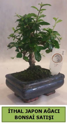 İthal japon ağacı bonsai bitkisi satışı  Bayburt çiçekçi telefonları