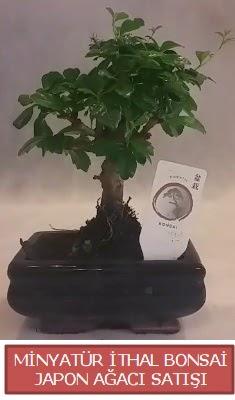 Küçük görsel bonsai japon ağacı bitkisi  Bayburt çiçek , çiçekçi , çiçekçilik