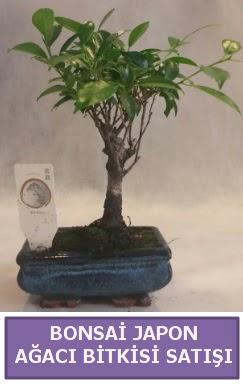 İthal Bonsai japon ağacı bitkisi satışı  Bayburt İnternetten çiçek siparişi