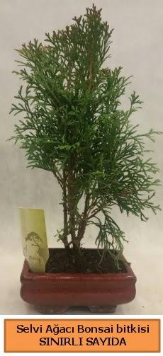 Selvi ağacı bonsai japon ağacı bitkisi  Bayburt çiçek satışı