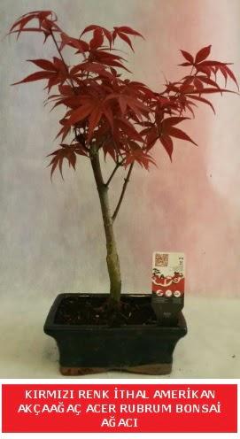 İTHAL ACER RUBRUM BONSAİ AĞACI  Bayburt çiçek gönderme sitemiz güvenlidir