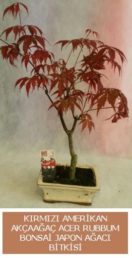 Amerikan akçaağaç Acer Rubrum bonsai  Bayburt uluslararası çiçek gönderme