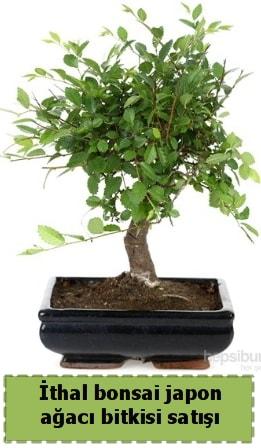 İthal bonsai saksı çiçeği Japon ağacı satışı  Bayburt İnternetten çiçek siparişi