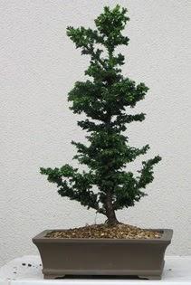Çam ağacı bonsai bitkisi satışı  Bayburt çiçekçi telefonları