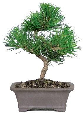 Çam ağacı bonsai japon ağacı bitkisi  Bayburt çiçek gönderme