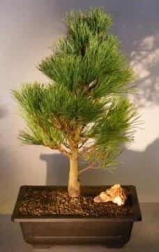 Çam ağacı japon ağacı bitkisi bonsai  Bayburt çiçekçi telefonları