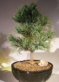 Çam ağacı bonsai bitkisi satışı  Bayburt ucuz çiçek gönder