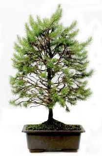 *** STOKTA YOK - Çam ağacı bonsai bitkisi satışı  Bayburt cicekciler , cicek siparisi