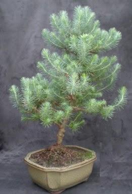 Bonsai çam ağacı japon ağacı bitkisi  Bayburt çiçek gönderme sitemiz güvenlidir