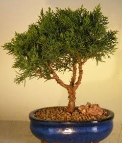 Servi çam bonsai japon ağacı bitkisi  Bayburt çiçek yolla