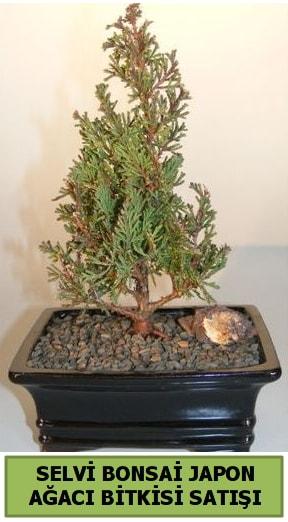 Selvi çam japon ağacı bitkisi bonsai  Bayburt çiçekçi telefonları