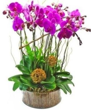 Ahşap kütükte lila mor orkide 8 li  Bayburt internetten çiçek satışı