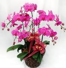 Sepet içerisinde 5 dallı lila orkide  Bayburt ucuz çiçek gönder