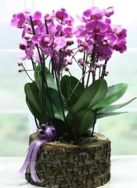 Kütük içerisinde 6 dallı mor orkide  Bayburt ucuz çiçek gönder