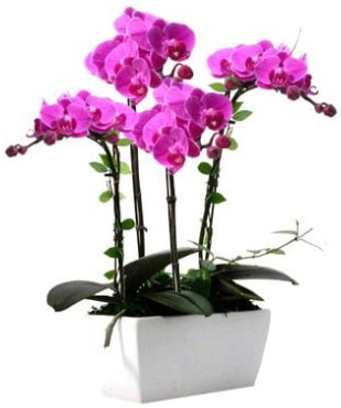 Seramik vazo içerisinde 4 dallı mor orkide  Bayburt çiçek satışı
