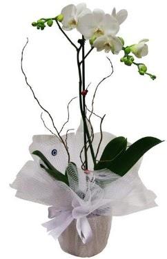 Tek dallı beyaz orkide  Bayburt cicek , cicekci