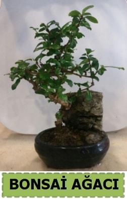 Bonsai ağacı japon ağacı satışı  Bayburt hediye çiçek yolla