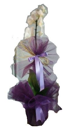 Tek dallı beyaz orkide süper kalite ithal  Bayburt çiçek siparişi sitesi