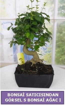 S dal eğriliği bonsai japon ağacı  Bayburt çiçek satışı