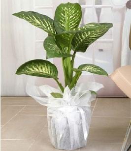 Tropik saksı çiçeği bitkisi  Bayburt çiçek satışı