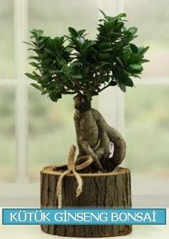 Kütük ağaç içerisinde ginseng bonsai  Bayburt çiçek gönderme sitemiz güvenlidir