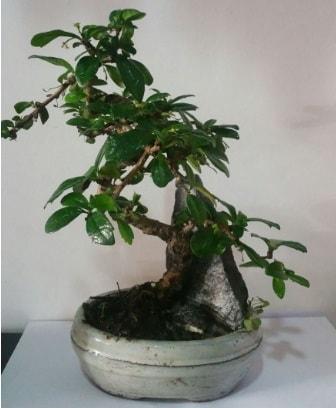 S şeklinde ithal bonsai ağacı  Bayburt çiçek yolla