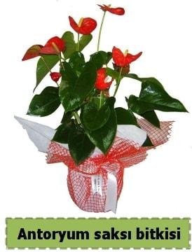 Antoryum saksı bitkisi satışı  Bayburt çiçek , çiçekçi , çiçekçilik