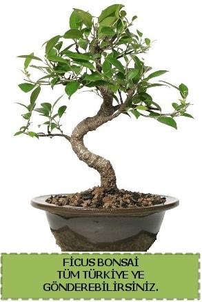 Ficus bonsai  Bayburt çiçek gönderme sitemiz güvenlidir