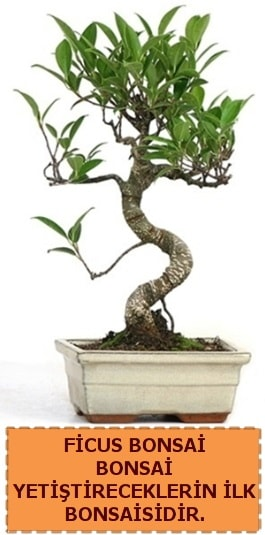 Ficus bonsai 15 ile 25 cm arasındadır  Bayburt çiçek yolla