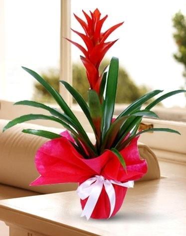Guzmanya Saksı Çiçeği  Bayburt çiçek yolla