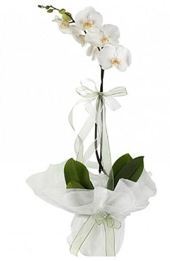 Tekli Beyaz Orkide  Bayburt hediye çiçek yolla