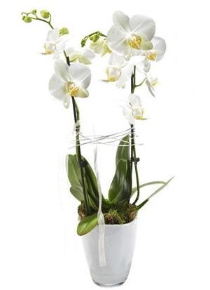 2 dallı beyaz seramik beyaz orkide saksısı  Bayburt çiçek gönderme sitemiz güvenlidir