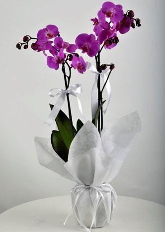Çift dallı saksıda mor orkide çiçeği  Bayburt çiçek siparişi vermek