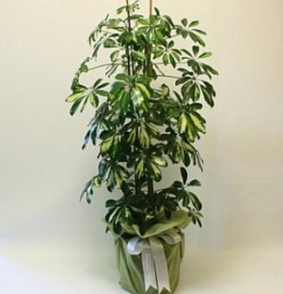 Şeflera salon bitkisi  Bayburt çiçek gönderme