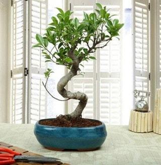 Amazing Bonsai Ficus S İthal  Bayburt internetten çiçek siparişi