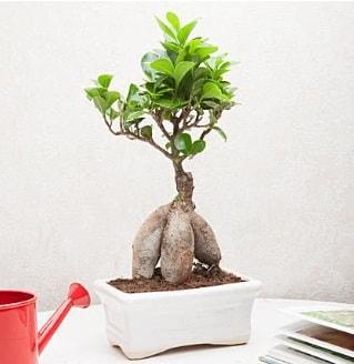 Exotic Ficus Bonsai ginseng  Bayburt çiçek servisi , çiçekçi adresleri