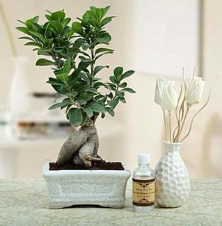 Ginseng ficus bonsai  Bayburt çiçekçiler