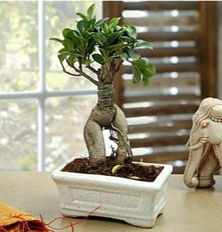 Marvellous Bonsai ginseng  Bayburt çiçek siparişi sitesi