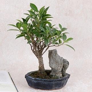 Japon ağacı Evergreen Ficus Bonsai  Bayburt çiçek gönderme sitemiz güvenlidir